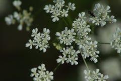 Uma flor branca no detalhe próximo Sylvestris do Anthriscus Fotos de Stock Royalty Free