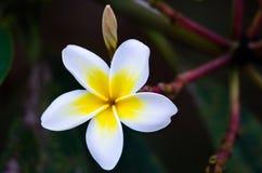 Uma flor branca simples em meu jardim imagens de stock royalty free