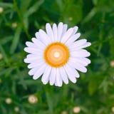 Uma flor brilhante fresca bonita da camomila sobre um fundo floral da grama verde Projeto foto de stock royalty free