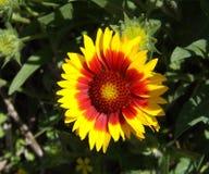 Uma flor colorida com terra traseira verde imagens de stock