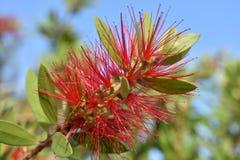 Uma flor com agulhas vermelhas Fotografia de Stock