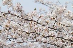 Uma flor completa da árvore da flor de cerejeira imagens de stock