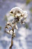 Uma flor congelada sob a neve Imagens de Stock