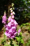 Uma flor cor-de-rosa Fotos de Stock Royalty Free