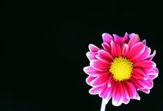 Uma flor cor-de-rosa da margarida isolada no fundo preto com espaço da cópia à esquerda foto de stock royalty free