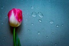 Uma flor cor-de-rosa da tulipa no fundo neutro cinzento com waterdrops Copie o espaço Mulheres, mães, Valentim imagens de stock