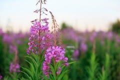 Uma flor cor-de-rosa do ivan-chá Imagens de Stock Royalty Free