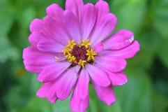Uma flor cor-de-rosa grande bonita Fotos de Stock Royalty Free