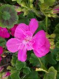 Uma flor cor-de-rosa macia no primeira da primavera de 2016 Imagem de Stock