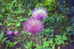 Uma flor da bardana no verão fotos de stock royalty free