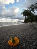 Uma flor da laranja descansa nos Sandy Beach do parque de Edgewater - Cleveland - Ohio Imagem de Stock