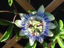 Uma flor da paixão imagens de stock