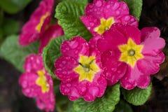 Uma flor da prímula cor-de-rosa nas gotas da chuva fotografia de stock royalty free