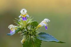 Uma flor da provocação de cânhamo imagem de stock royalty free