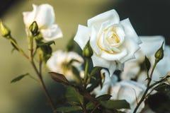 Uma flor da rosa Foto de Stock Royalty Free