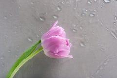 Uma flor da tulipa nas gotas Foto de Stock