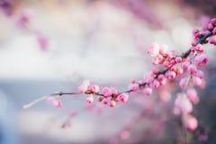 Uma flor de cerejeira cor-de-rosa de florescência na mola imagens de stock royalty free