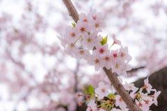 Uma flor de cerejeira ou um Sakura em Japão A flor de florescência representa a mola e igualmente é um do símbolo famoso japonês Fotos de Stock Royalty Free