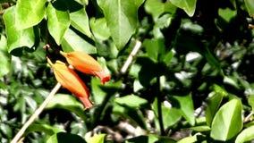 Uma flor de Crocosmia 'Severn Seas' contra um fundo verde da folha video estoque