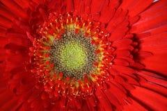 Uma flor de Gerber Fotos de Stock Royalty Free