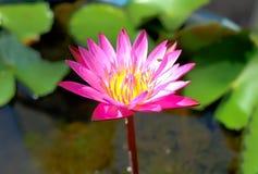 Uma flor de lótus cor-de-rosa bonita Imagem de Stock