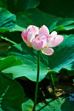 Uma flor de lótus de florescência Imagem de Stock Royalty Free