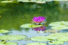Uma flor de lótus de florescência Fotos de Stock