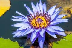 Uma flor de lótus de florescência Foto de Stock Royalty Free