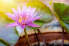 Uma flor de lótus roxa bonita na lagoa é bonita fotos de stock royalty free