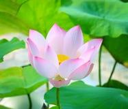 Uma flor de lótus cor-de-rosa com cabeça amarela da semente no lago Foto de Stock Royalty Free