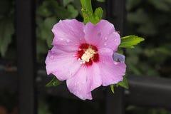 Uma flor de uma malva cor-de-rosa Uma flor nas gotas do orvalho em um fundo verde borrado Plantas dos prados da região com um t fotografia de stock