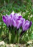 Uma flor do açafrão do ramalhete em um campo da mola. Imagem de Stock Royalty Free