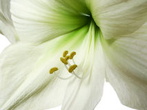 Uma flor do amaryllis isolada Fotos de Stock Royalty Free