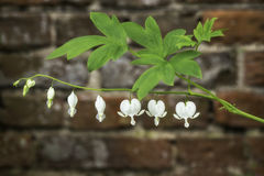 Uma flor do coração de sangramento Fotos de Stock