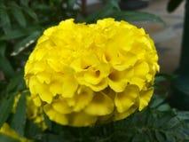 Uma flor do dhaspetiya Foto de Stock Royalty Free
