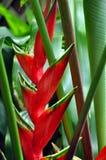 Uma flor do gengibre selvagem havaiano imagens de stock royalty free