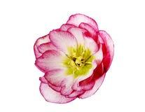 Uma flor do hellebore cor-de-rosa e branco ou uns orientalis cor-de-rosa e brancos do helleborus isolados no branco Imagens de Stock