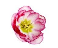 Uma flor do hellebore cor-de-rosa e branco ou uns orientalis cor-de-rosa e brancos do helleborus isolados no branco Foto de Stock Royalty Free