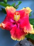 Uma flor do hibiscus Fotografia de Stock