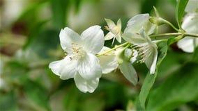 Uma flor do jasmim no vento filme