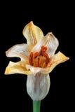 Uma flor do lírio isolada no preto Imagem de Stock