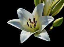 Uma flor do lírio branco com gotas da água Fotos de Stock Royalty Free