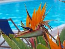 Uma flor do pássaro do zumbido Imagens de Stock