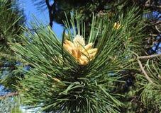 Uma flor do pinho Fotografia de Stock
