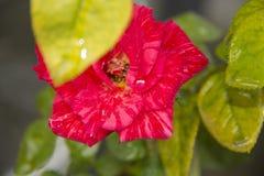 Uma flor do rosa cor-de-rosa berduri mawar bunga mawar imagem de stock