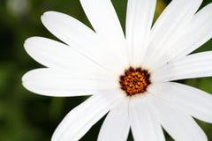 Uma flor do verão Fotos de Stock Royalty Free