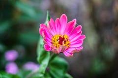 Uma flor em botão grande roxa foto de stock