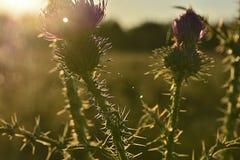 Uma flor florescida do campo iluminada pelo sol da tarde Imagens de Stock