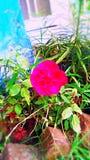 Uma flor fresca cor-de-rosa escura Fotografia de Stock