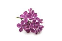 Uma flor lilás fotografia de stock royalty free